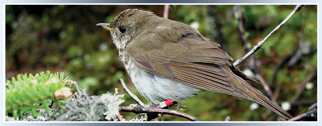 Mt. Washington Bicknell Thrush Package